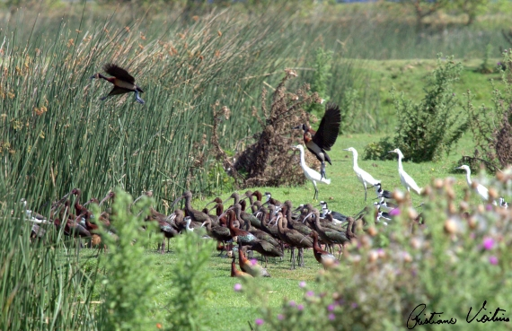 Caraúna-de-cara-branca  em Laguna - SC