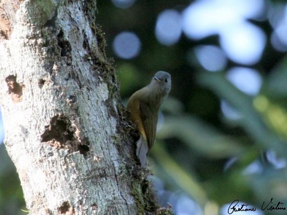Abre-asas-de-cabeça-cinza em Jaragua do Sul - SC