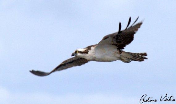 Águia-pescadora em Laguna - SC