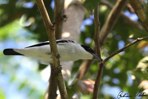 Anambé-branco-de-bochecha-parda em Itapema - SC