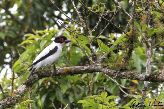 Anambé-branco-de-rabo-preto em Doutor Pedrinho - SC