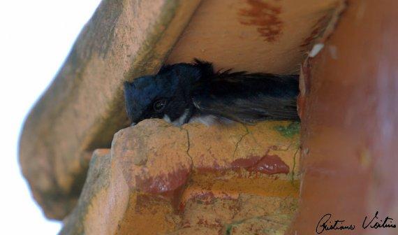 Andorinha-pequena-de-casa em Urubici - SC