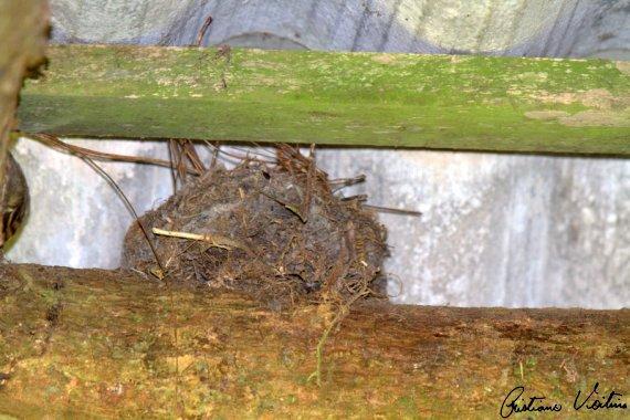 Andorinha-pequena-de-casa em Guabiruba - SC