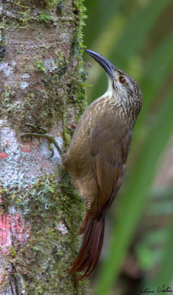 Arapaçu-de-garganta-branca em Guabiruba - SC