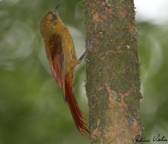 Arapaçu-verde em Itapoa - SC