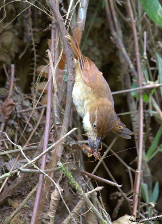 Barranqueiro-de-olho-branco em Brusque - SC