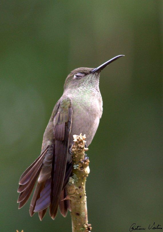 Beija-flor-cinza em Blumenau - SC