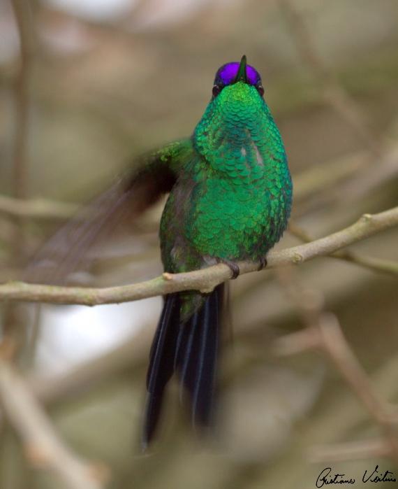 Beija-flor-de-fronte-violeta em Gaspar - SC