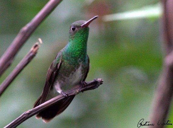 Beija-flor-de-garganta-verde em Sao Francisco do Sul - SC