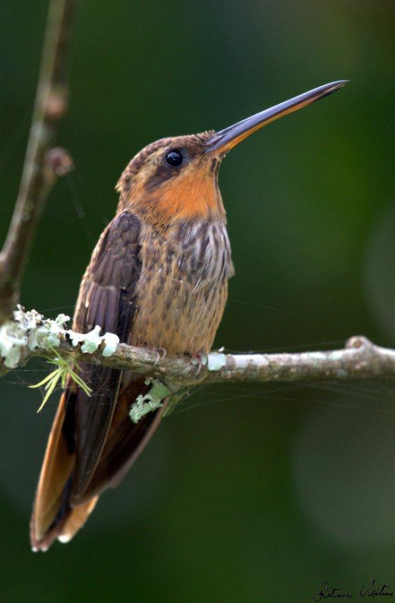 Beija-flor-rajado em Itajai - SC