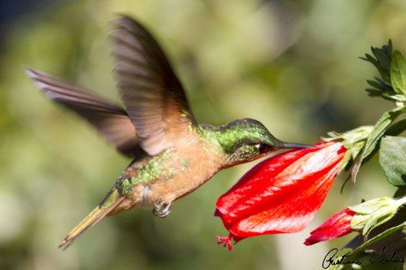 Beija-flor-rubi em Itapema - SC