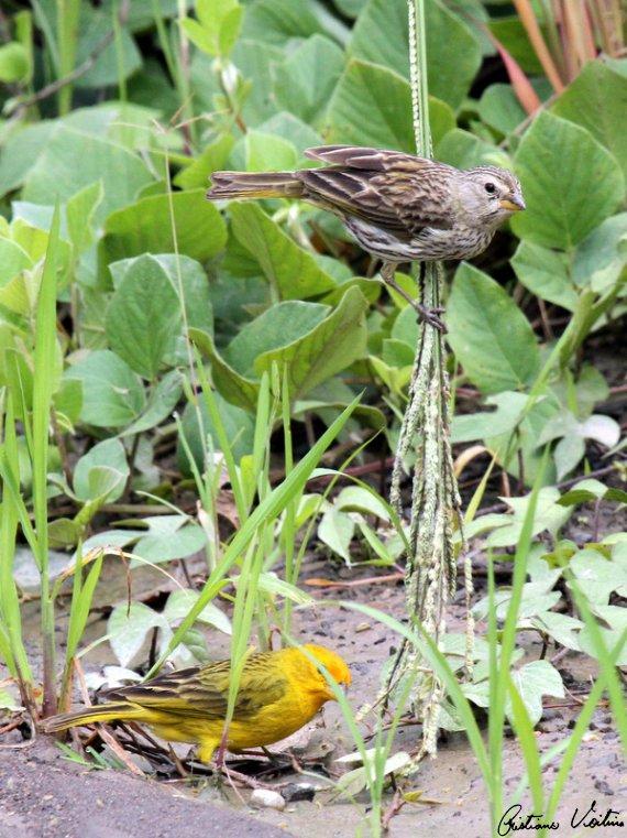 Canário-da-terra-verdadeiro em Joinville - SC