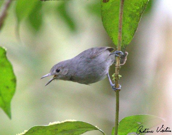 Choquinha-cinzenta em Itapoa - SC