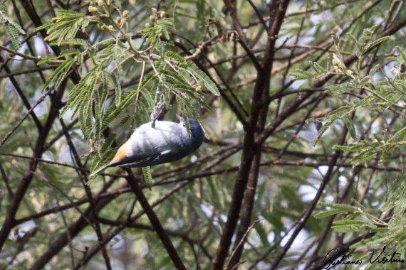 Figuinha-de-rabo-castanho em Itaiopolis - SC