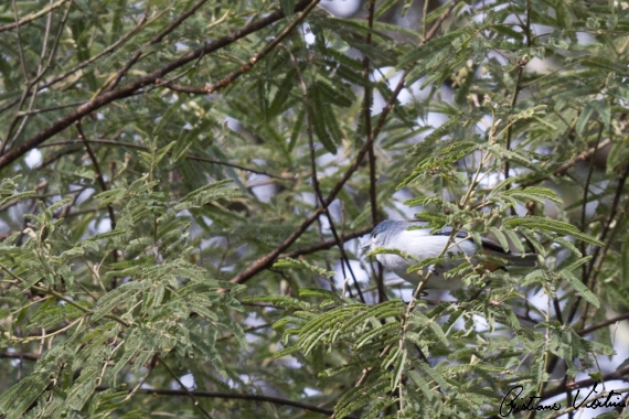 Figuinha-de-rabo-castanho em Irineopolis - SC