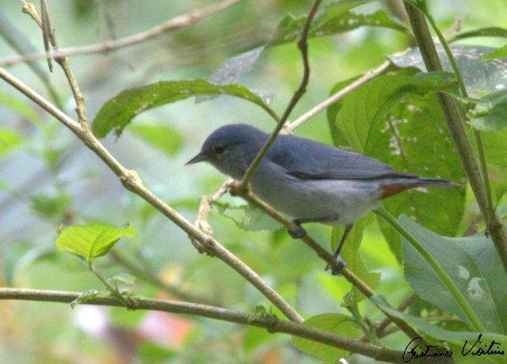 Figuinha-de-rabo-castanho em Itapiranga - SC