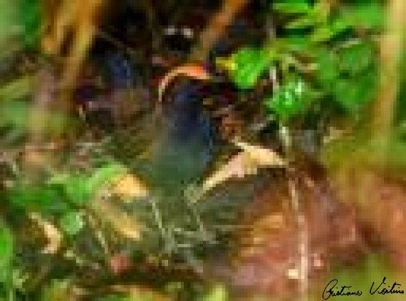 Galinha-do-mato em Itapoa - SC