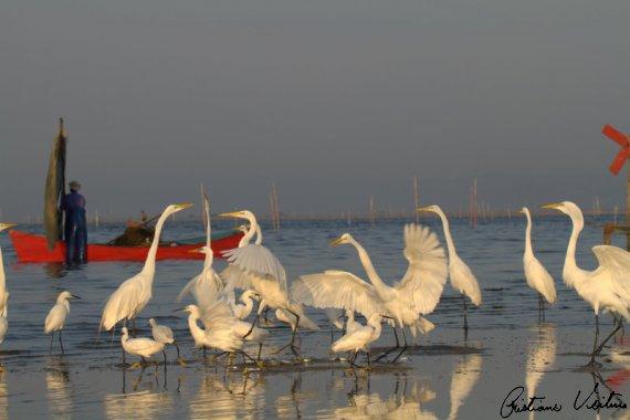 Garça-branca-grande em Laguna - SC