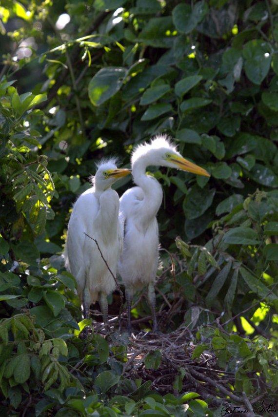 Garça-branca-grande em  - SC