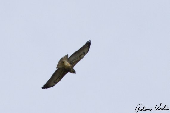 Gavião-de-rabo-branco em Urubici - SC