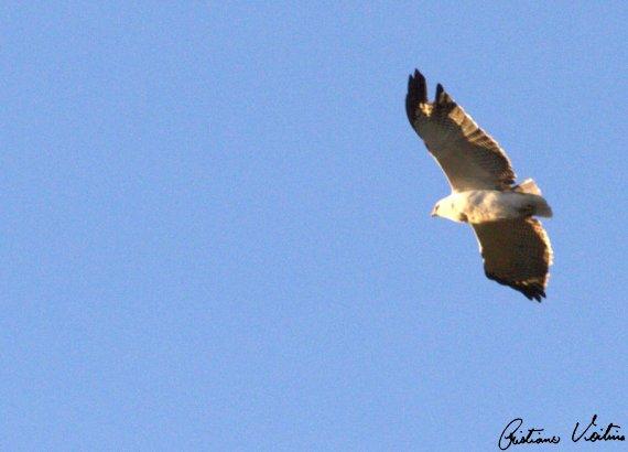 Gavião-pombo-grande em Urubici - SC