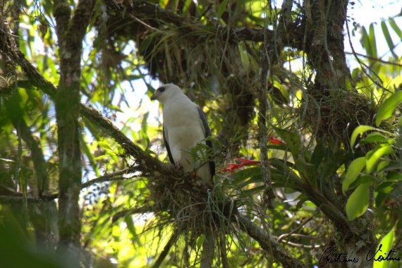 Gavião-pombo-grande em Brusque - SC