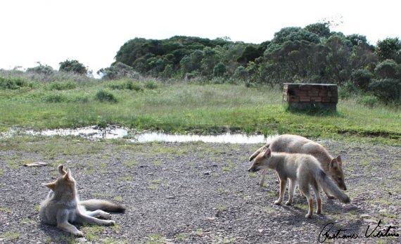 Graxaim-do-campo em Praia Grande - SC