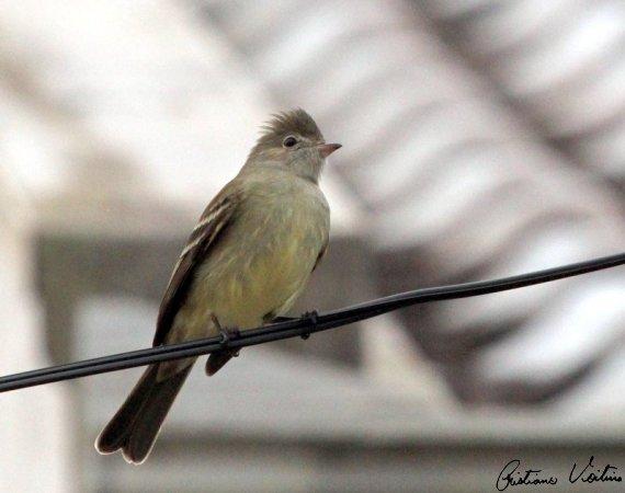 Guaracava-de-barriga-amarela em Sao Francisco do Sul - SC