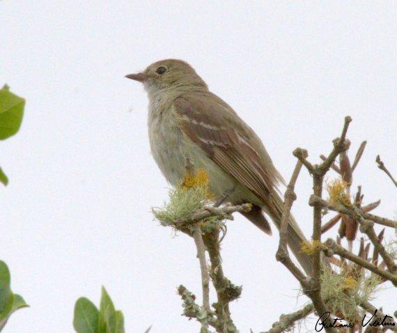 Guaracava-de-bico-curto em Laguna - SC