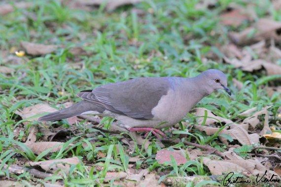 Juriti-pupu em Guabiruba - SC