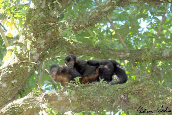 Macaco-prego em Sao Francisco do Sul - SC