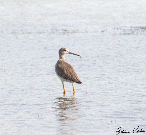 Maçarico-grande-de-perna-amarela em Laguna - SC