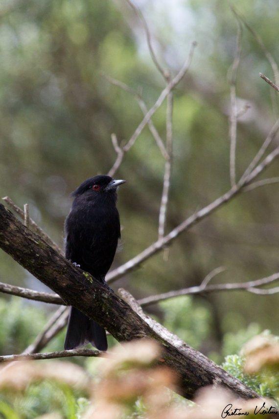 Maria-preta-do-bico-azulado em Urubici - SC