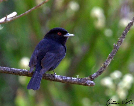 Maria-preta-do-bico-azulado em Bom Jardim da Serra - SC