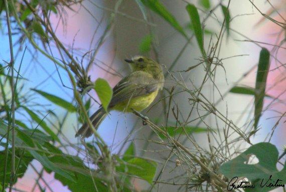 Marianinha-amarela em Santa Helena - SC