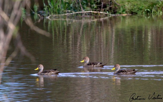Marreca-parda em Agua Doce - SC