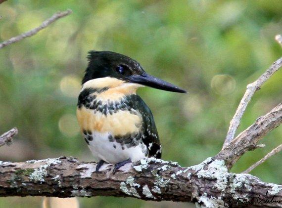 Martim-pescador-pequeno em Araquari - SC