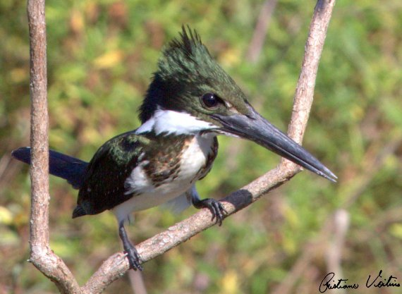 Martim-pescador-verde em Barra Velha - SC