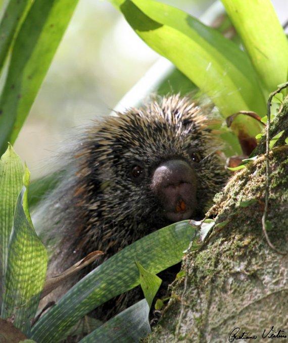 Ouriço-cacheiro em Bombinhas - SC