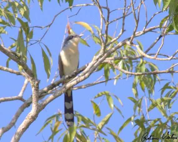 Papa-lagarta-acanelado em Itaiopolis - SC