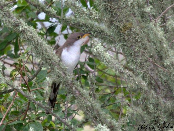 Papa-lagarta-de-asa-vermelha em Laguna - SC