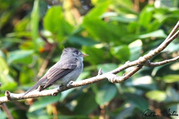 Papa-moscas-cinzento em Camboriu - SC