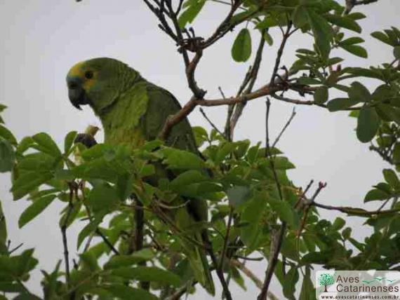Papagaio-verdadeiro em Florianopolis - SC