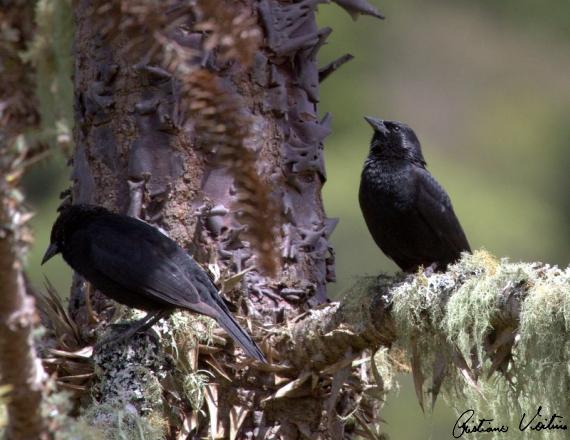 Pássaro-preto em Urubici - SC