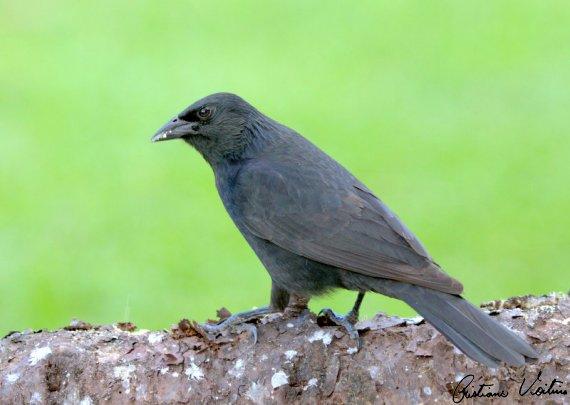 Pássaro-preto em Agua Doce - SC