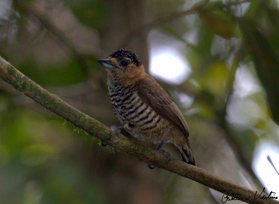 Pica-pau-anão-de-coleira em Brusque - SC