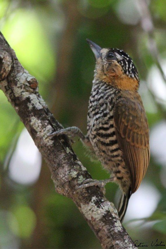 Pica-pau-anão-de-coleira em  - SC