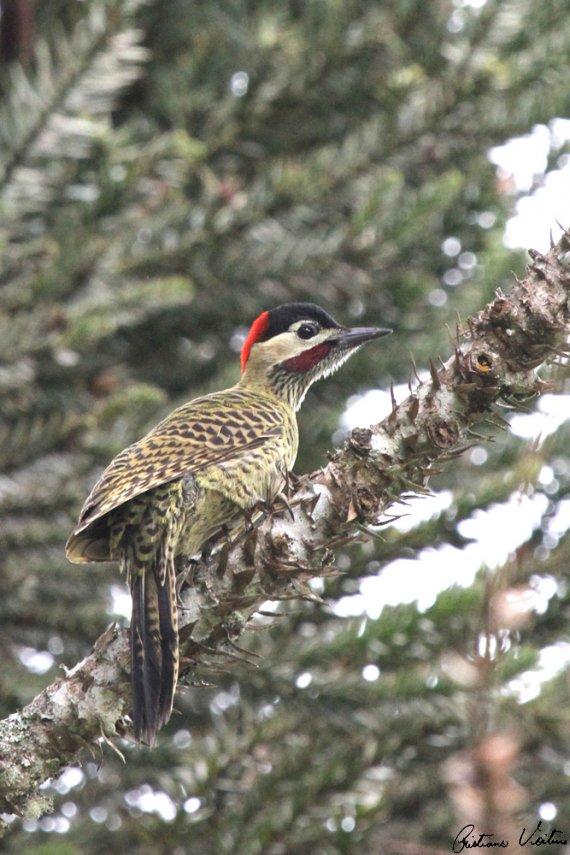 Pica-pau-verde-barrado em Itaiopolis - SC