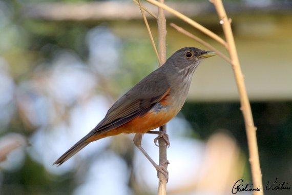 Sabiá-vermelho em Itapoa - SC