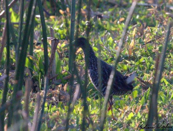 Saracura-carijo em Jaguaruna - SC